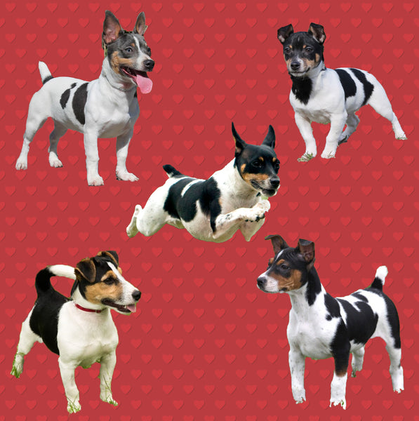 Dog Fabric, Rat Terrier Fabric with hearts, Cotton or Fleece 2137
