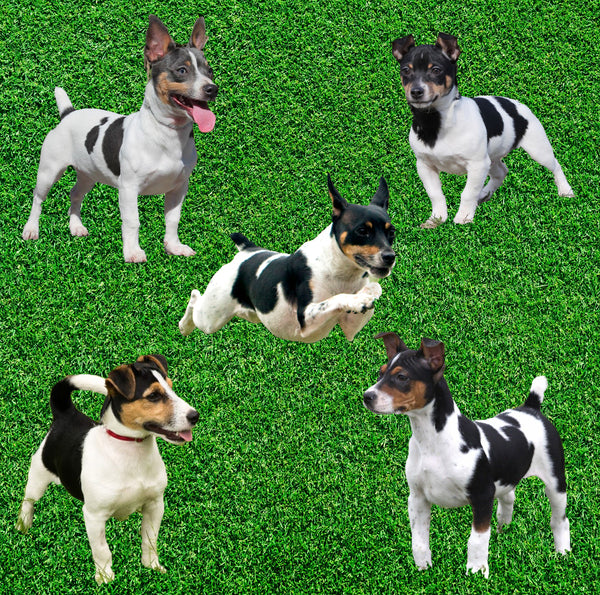Dog Fabric, Rat Terrier Type A Fabric, Cotton or Fleece 2118