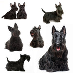 Dog Fabric, Scottish Terrier on White, Cotton or Fleece 1627 - Beautiful Quilt