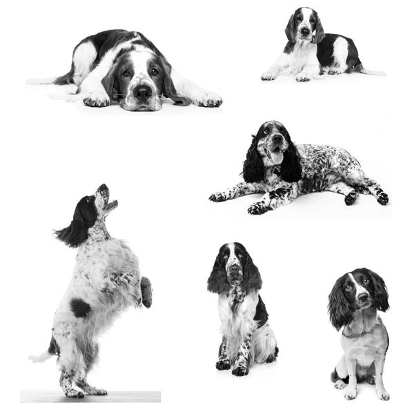 Dog Fabric, Springer Spaniel Fabric on White 1882 - Beautiful Quilt