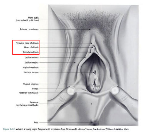 Labeled diagram of the vulva, labia, clitoris, and vagina from Goldstein 2005