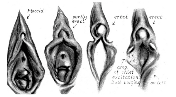 Clitoris glans at different arousal and stages of engorgement