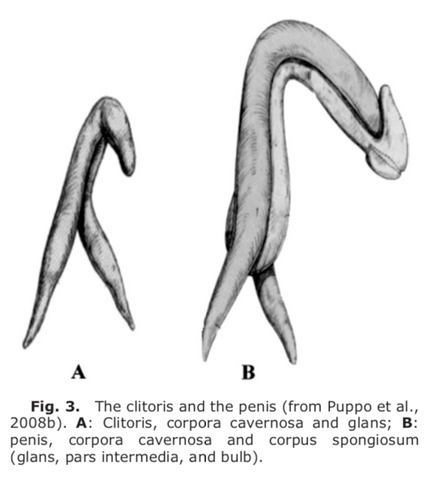 the clitoris and the penis have common embryological origins