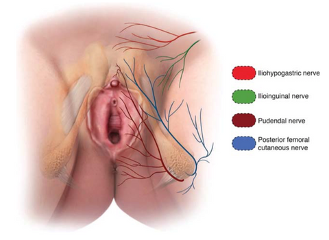the entire clitoral, vaginal, and urethral region is highly innervated