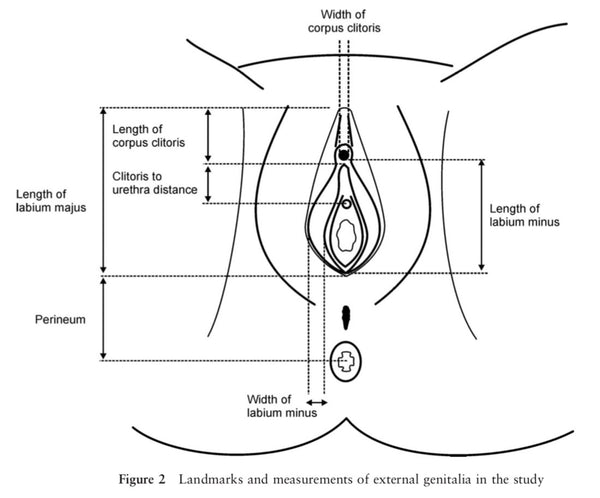 Diagram of vulva / vagina measurements and anatomy