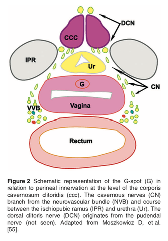 The g-spot, the broader vaginal structure, the clitoris and more
