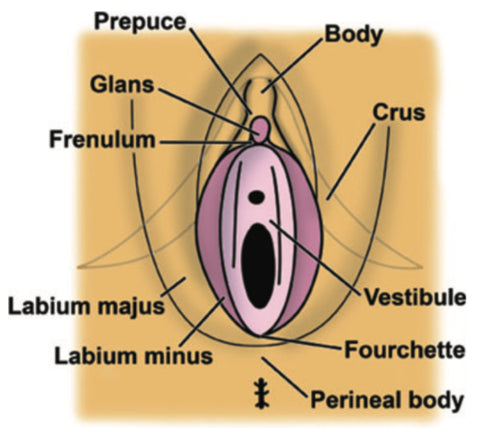 Labeled diagram of the vulva and vagina from O'Connell 2005