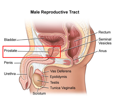 male prostate, labeled; makes it hard to have a female prostate based on the specific defintion