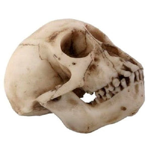 YTC 8036, 4 Inch Collectible Cold Cast Resin Realistically Painted Monkey Skull