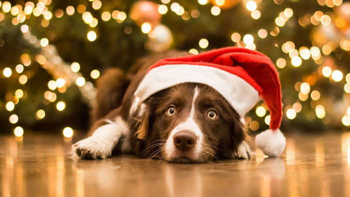 Lockdown puppy?  Top tips for Christmas with pets