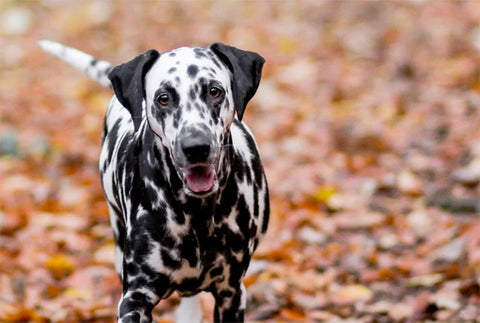 dalmation in leaves