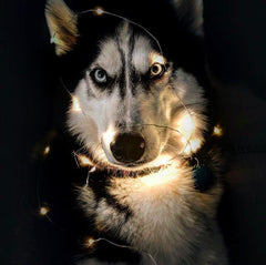husky and fairy lights