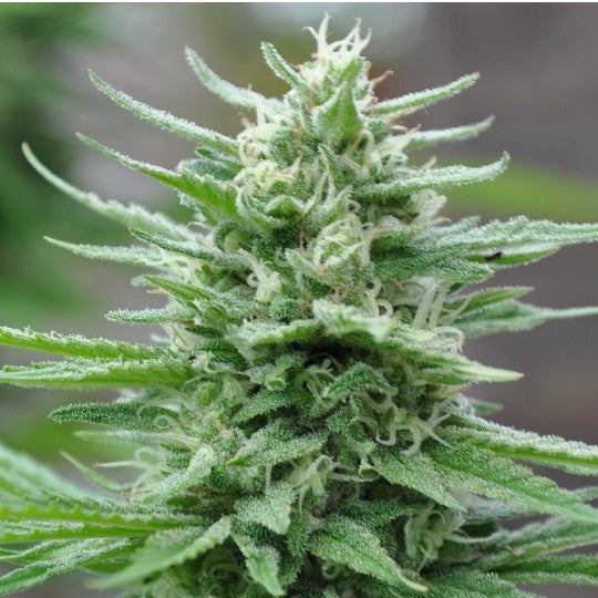 Green Crack Feminized - 1 Seed