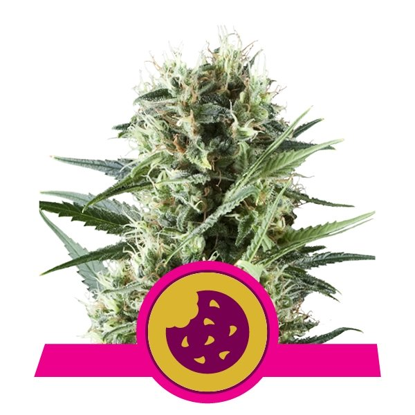 Royal Cookies - Feminised - 1 Seed
