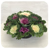 Ornamental Cabbage Bowl