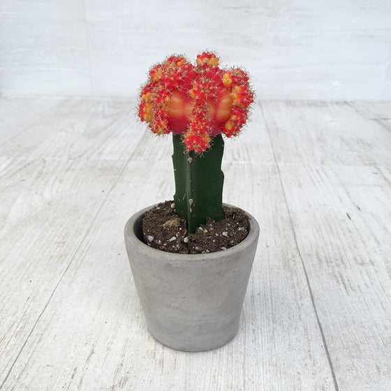 Cactus Moon Grafted