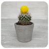 Cactus with Yellow Decorative Flower