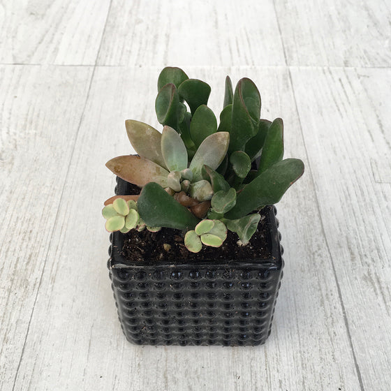 Assorted Succulent Pot