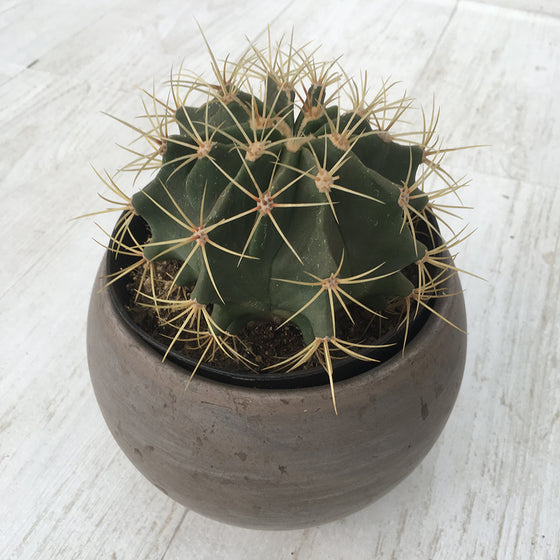 """Blue Barrel"" Ferocactus Glaucescens"