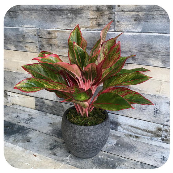 Aglaonema 'Red Siam' (Chinese Evergreen)