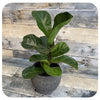 Ficus Lyrata 'Little sunshine' (Dwarf Fiddle Leaf Fig)