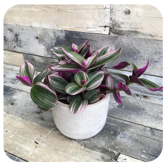 Purple Zebra Plant 'Nanouk' (Formerly known as Wandering Jew)