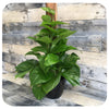 Pothos Golden Totem