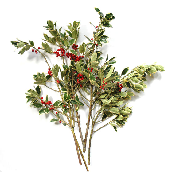 Holly - Variegated