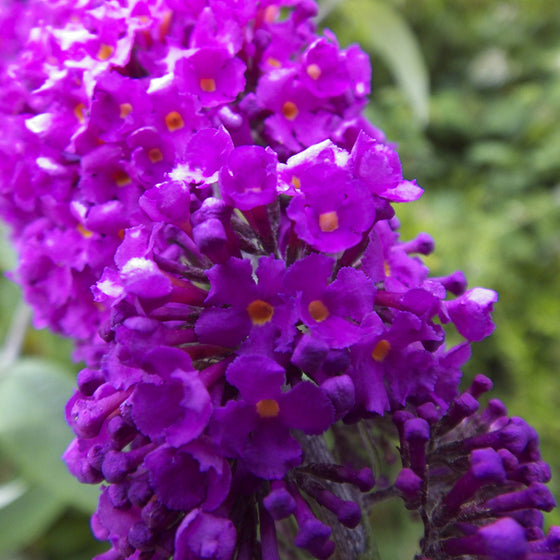 Butterfly Bush - Magenta (Buddleia) Buzz Series