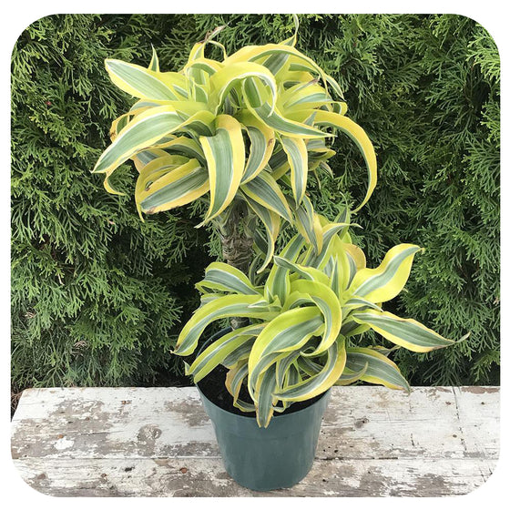 "6"" Dracaena Lemon Surprise Cane"
