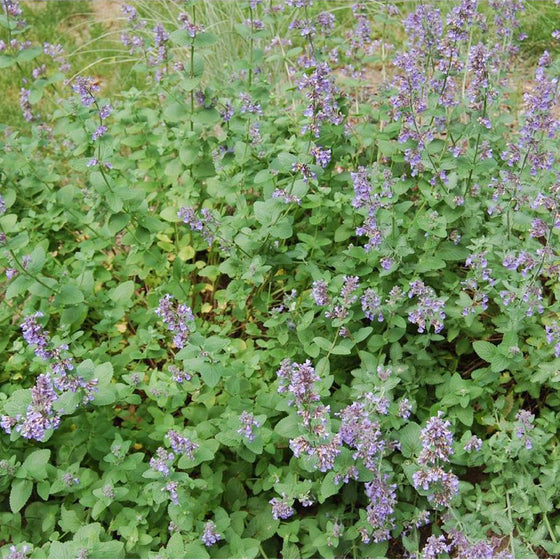 Catmint (Nepeta - Walker's Low Variety)