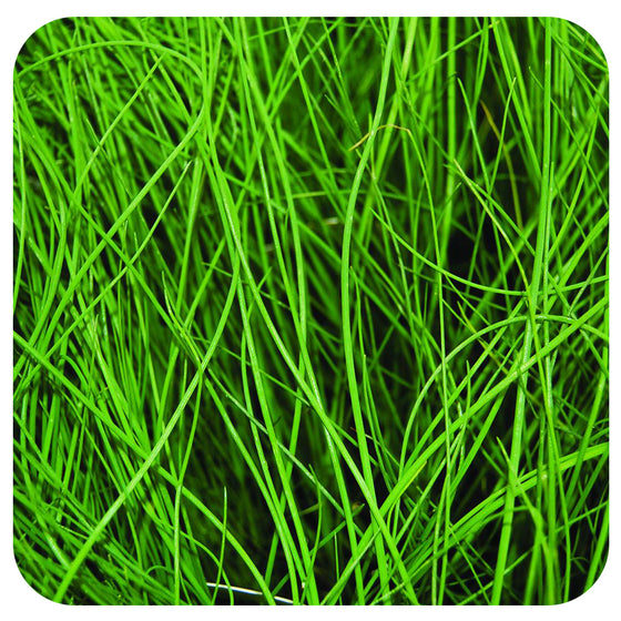 Chives (Organic)