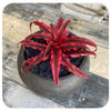 Cryptanthus 'Earth Stars'
