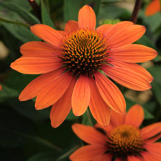 Cone Flower (Echinachea) - Orange/ Red Variety