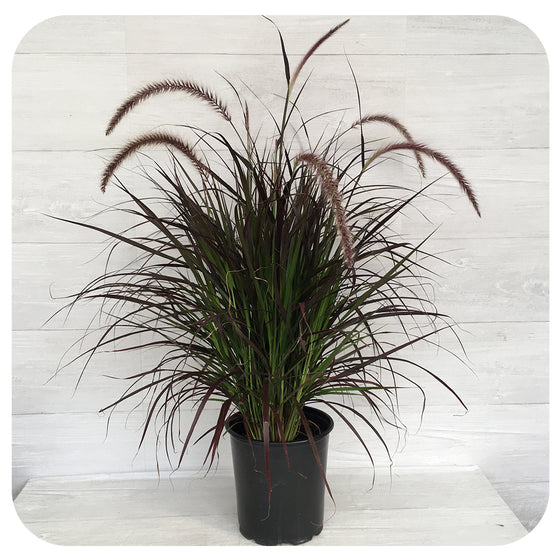 Purple Fountain Grass (Pennisetum 'Rubrum')