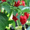 Ghost Bhut Jolikia Pepper - Organic