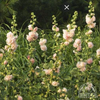 Double Hollyhock 'Peaches n' Dreams' (Alcea rosea)