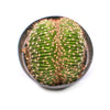 Caterpillar Plant / Echinopsis species cristata
