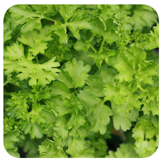 Curled Parsley (Non-Organic)