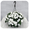 "New Guinea Impatiens Hanging Basket 12"" - White"