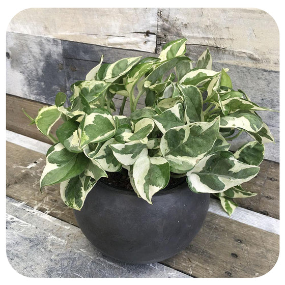 Pothos 'Pearls and Jade'