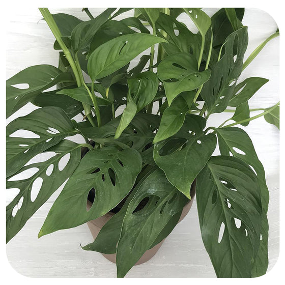 Philodendron adansonii 'Swiss Cheese'