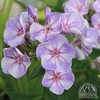Summer Phlox 'Younique Old Blue' (Phlox paniculata)