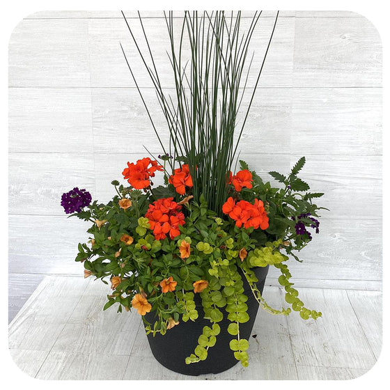 Sun arrangement round - Orange with Creeping Jenny