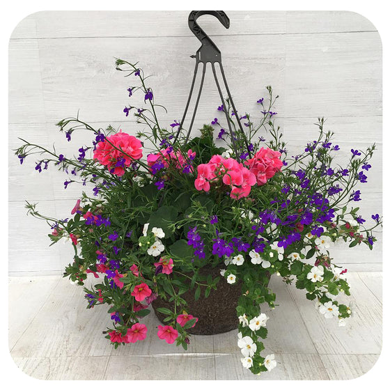Hanging Basket Sun - Two Tone Pink with Blue Lobelia