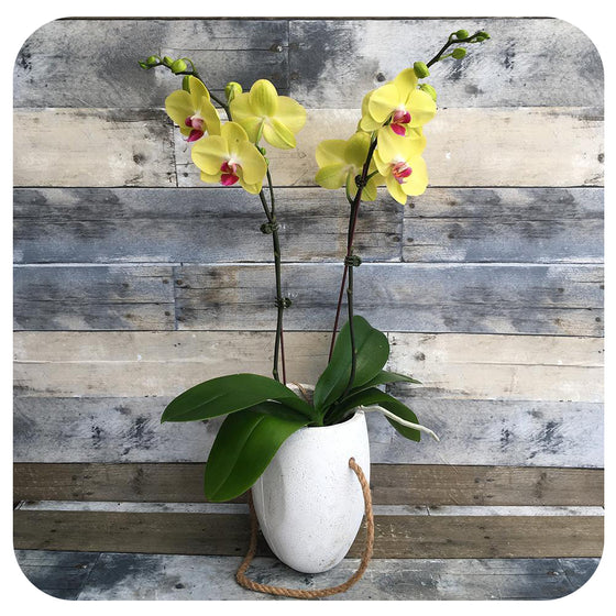 Orchid - Yellow w. Purple Double (Phalaenopsis)
