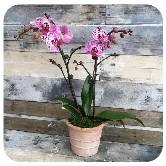 Mini Orchid -Spotted Pink Double (Phalaenopsis)