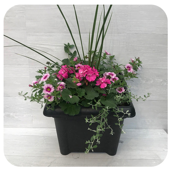 Square Sun arrangement - Pink Geranium, Pink Calibrachoa and Blue Verbena