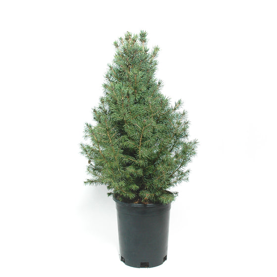 Potted Dwarf Albert Spruce