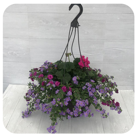 Hanging Basket Sun - Two Tone Pink with Blue Bacopa